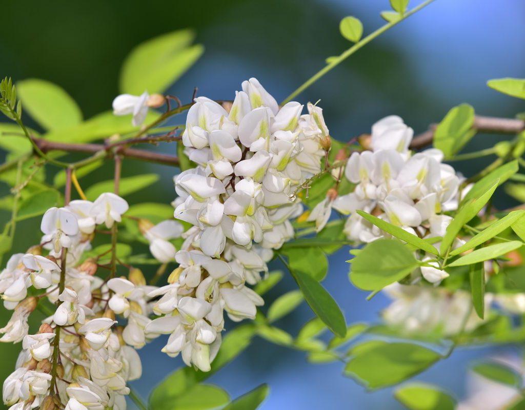 Akazienblüte