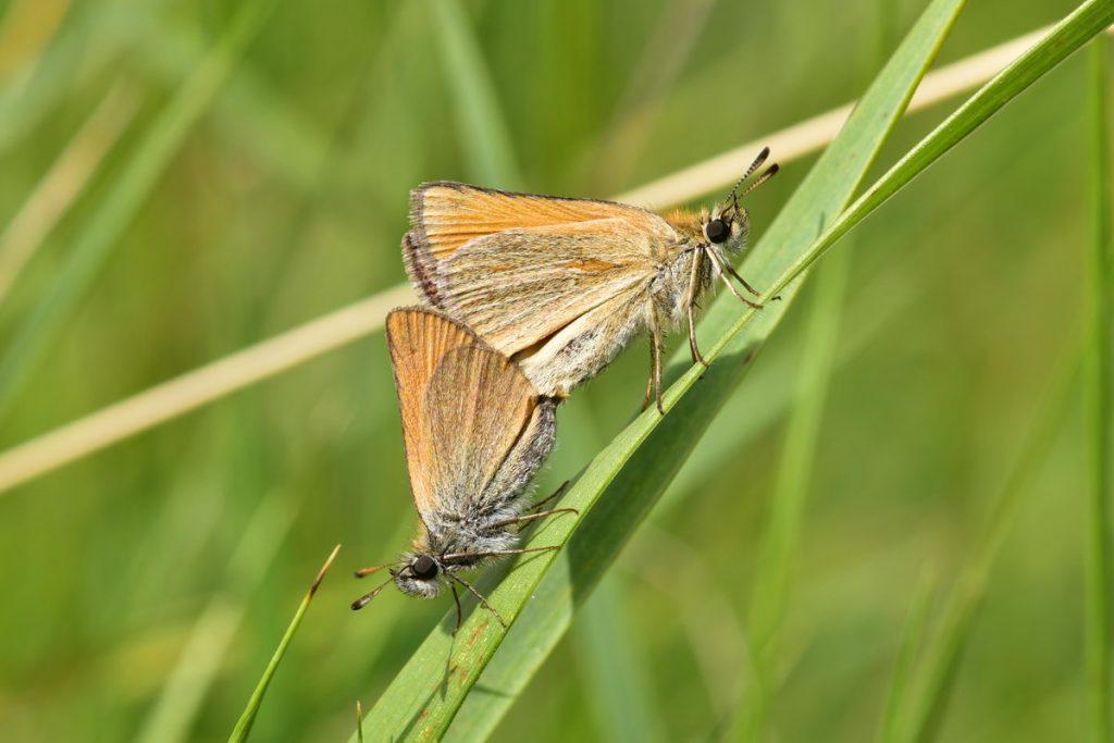 Schmetterlinge Bei Paarung